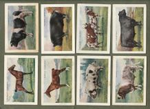 Collectable Cigarette cards set British Pedigree Stock 1925